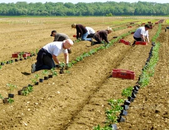 Olivier-bourgeot-et-sa-compagnie-melanie-a-l-interieur-de-la-serre-chapelle-apres-avoir-ete-eleves-en-serre-les-plants-de-tomates-sont-mis-en-terre-pour-la-recolte-en-saison-photos-chantal-malatesta-la-plantation-des-to