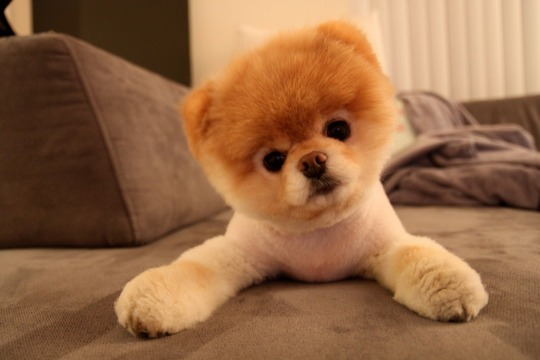 Cute-boo-dog-wallpaper