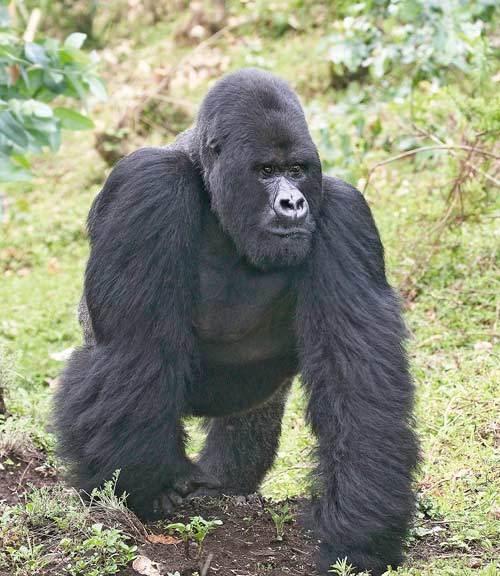 Gorille-montagnes