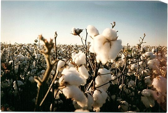 Scan_cotton_bowl