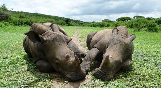 Rhinos_thombi_and_thabo_273_cropped_hr__2_