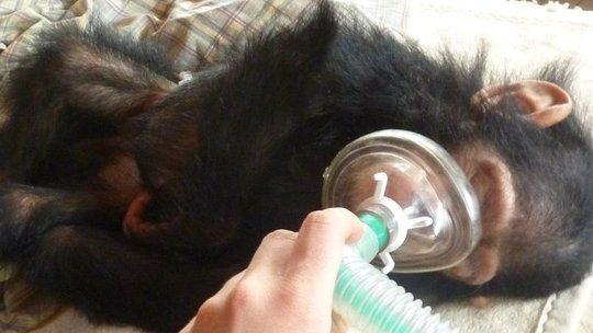 Intervention_chimp