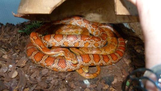Serpent_anais