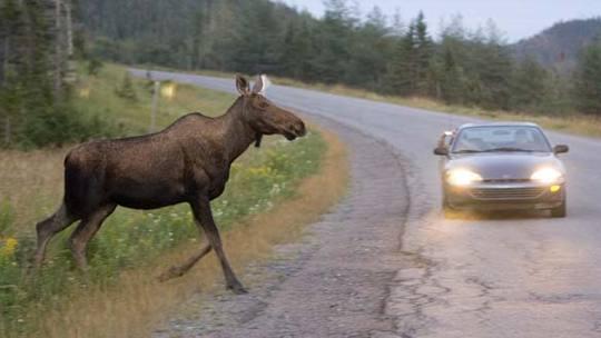 Moose-gros-morne_jonathan-hayward-cp