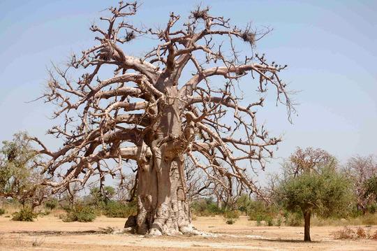 Baobab6kkbb