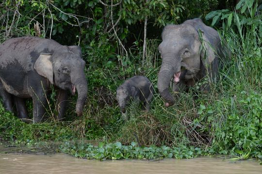Elephant_pygm_