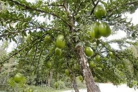 Calebbase_arbre