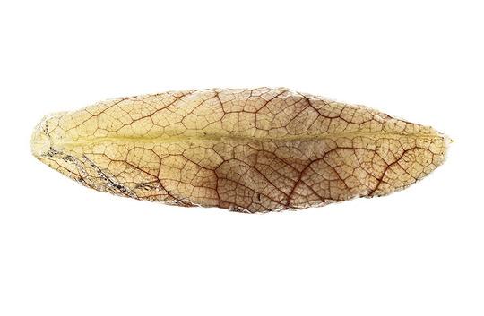 Aristolochia_gigantea-14