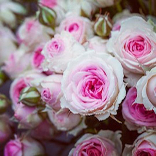 Photo_rose