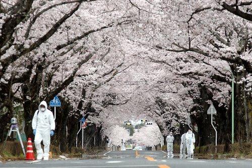 Fukushima-sakura-2